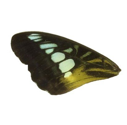PARTHENOUS SYLVIA FRONT WING (BROWN)